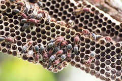 Nest of Hornet Royalty Free Stock Photos