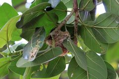 Humming Bird Nest on Banyan Tree. Nest of a humming bird at banyan tree in rural area.I saw this pretty and beautiful and too tiny bird and i am just love with Stock Photos