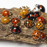 Nest of ladybugs on a bark piece stock image