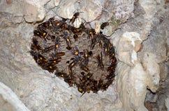 Nest of Lesser banded hornet (Vespa affinis) Stock Photo