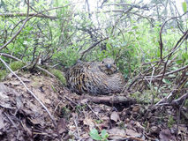 Nest of the Lyrurus tetrix, Black Grouse. Stock Image
