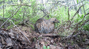 Nest of the Lyrurus tetrix, Black Grouse. Stock Photo