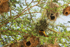 Nest in Maasai Mara, Kenia Stockbilder