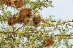 Nest in Maasai Mara, Kenia Royalty-vrije Stock Afbeelding