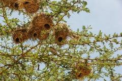 Nest in Maasai Mara, Kenia Royalty-vrije Stock Fotografie