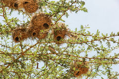 Nest in Maasai Mara, Kenya Royalty Free Stock Image