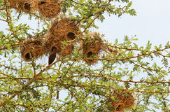 Nest in Maasai Mara, Kenya. This photo is taken in Maasai Mara National Reserve, Kenya. The Maasai Mara National Reserve also known as Maasai Mara and by the Royalty Free Stock Images