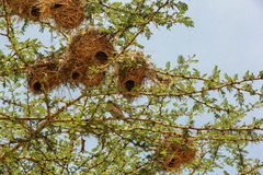 Nest in Maasai Mara, Kenya. This photo is taken in Maasai Mara National Reserve, Kenya. The Maasai Mara National Reserve also known as Maasai Mara and by the Royalty Free Stock Photography