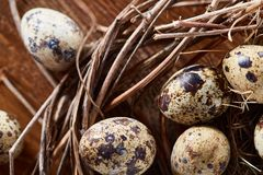 Willow nest with quail eggs on the dark wooden background, top view, close-up, selective focus. Nest made of willow branches full of fresh spotted quail eggs Royalty Free Stock Image
