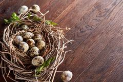 Willow nest with quail eggs on the dark wooden background, top view, close-up, selective focus. Nest made of willow branches full of fresh spotted quail eggs Royalty Free Stock Photography