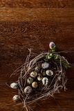 Willow nest with quail eggs on the dark wooden background, top view, close-up, selective focus. Nest made of willow branches full of fresh spotted quail eggs Royalty Free Stock Photo
