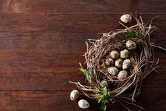 Willow nest with quail eggs on the dark wooden background, top view, close-up, selective focus. Nest made of willow branches full of fresh spotted quail eggs Royalty Free Stock Photos