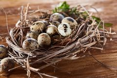 Willow nest with quail eggs on the dark wooden background, top view, close-up, selective focus. Nest made of willow branches full of fresh spotted quail eggs Stock Images