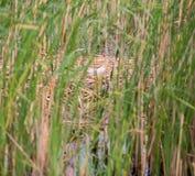 The nest of the Mallard in nature. Mallard duck eggs and nest, anas platyrhynchos, taken in wild. The nest of the Mallard in nature Royalty Free Stock Photo