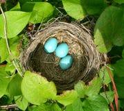 Nest met blauwe het meest eggsNest met blauwe eieren Stock Foto's