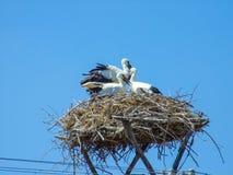 Nest met drie ooievaars stock fotografie