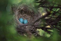 Nest met twee blauwe eieren Stock Foto's