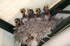 Nest met vijf kleine Swallow Royalty-vrije Stock Afbeeldingen