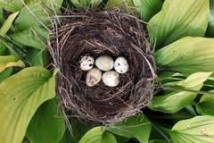 Nest mit Ei des wilden Vogels draußen lizenzfreies stockfoto