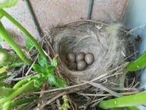 Nest mit 5 Eiern Lizenzfreies Stockbild