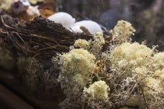 Nest mit Eiern im Moos Lizenzfreies Stockfoto