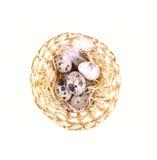 Nest mit Wachteleiern Stockbilder
