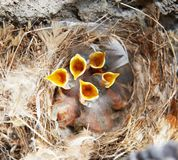Nest with nestling brood. Nest and five little nestling with open mouth stock photography