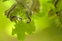Nest oak processionary caterpillar Thaumetopoea processionea in an oak tree. Poisonous hairs are dangerous for human