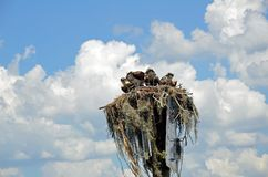 Nest of Osprey and Fledglings on Channel Marker stock photos