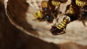 A nest of a paper wasp. Useful predatory garden insect, which destroys pests stock video