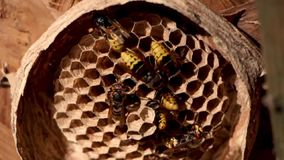A nest of a paper wasp. Useful predatory garden insect, which destroys pests stock video footage