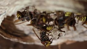 A nest of a paper wasp. Useful predatory garden insect, which destroys pests stock footage