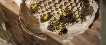 A nest of a paper wasp. Useful predatory garden insect, which destroys pests. A nest of a paper wasp close up. Useful predatory garden insect, which destroys royalty free stock image
