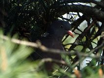 Dove on the nest to hatch chicks. royalty free stock image