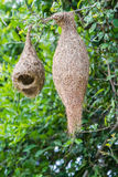 Nest of Ploceus philippinus. Royalty Free Stock Photo