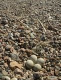 Nest of a plover Royalty Free Stock Image