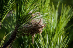 Nest of Processionary Caterpillar Royalty Free Stock Image