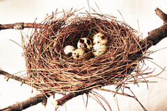 Nest with quail eggs Stock Photo