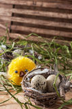 Nest with  quail eggs and chick. Spring composition by nest with  quail eggs and chick Stock Image