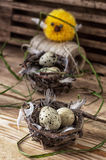 Nest with  quail eggs and chick. Spring composition by nest with  quail eggs and chick Royalty Free Stock Photo