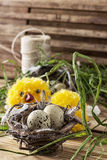 Nest with  quail eggs and chick. Spring composition by nest with  quail eggs and chick Stock Photos