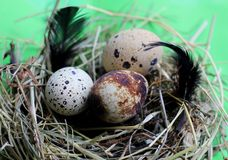 Nest with quail eggs and feathers on light green background stock images
