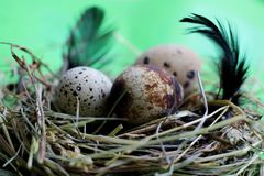 Nest with quail eggs and feathers on light green background stock image