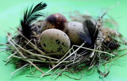 Nest with quail eggs and feathers on light green background stock photography