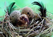 Nest with quail eggs and feathers on light green background royalty free stock photo