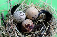 Nest with quail eggs and feathers on light green background stock photo