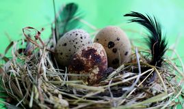 Nest with quail eggs and feathers on light green background royalty free stock images