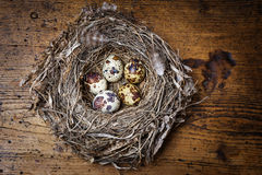 Nest with quail eggs Stock Photos