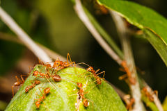 Nest of red ants Royalty Free Stock Photo