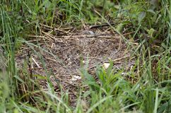 Mallard duck nest eggs plundered by raccoon predator, Georgia USA. The nest of a resident Mallard duck was plundered by a raccoon, eating the eggs. Walton County Stock Photography